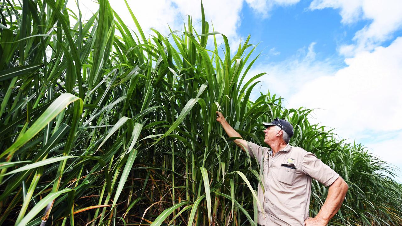 Five generation cane farmer Ashley Petersen with his crop. Photo: Cody Fox