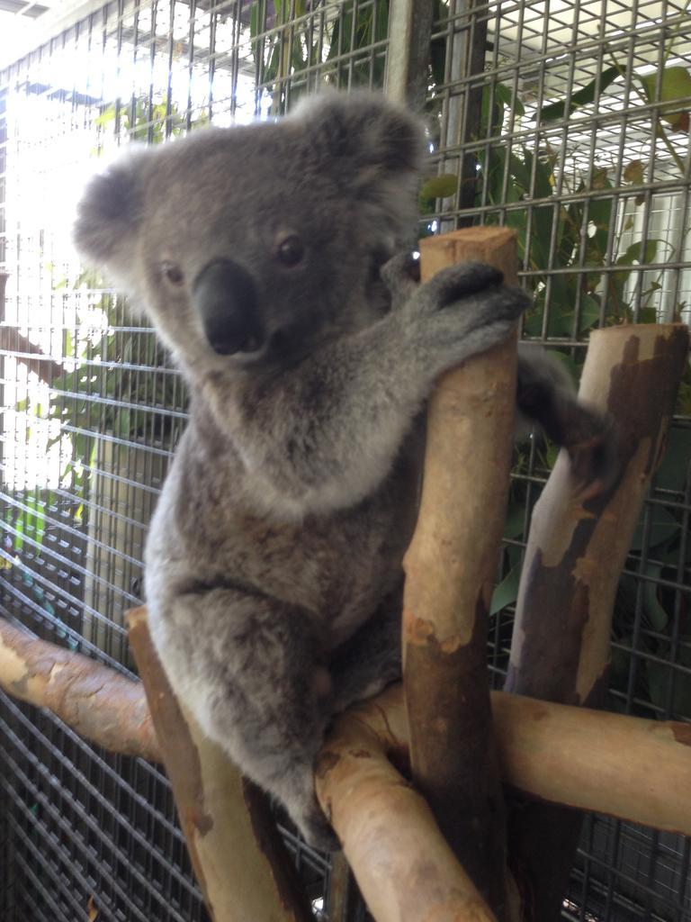 Jeffrey the koala now, playful and cheeky.
