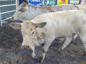 RURAL: Fat cattle sales return for 2021