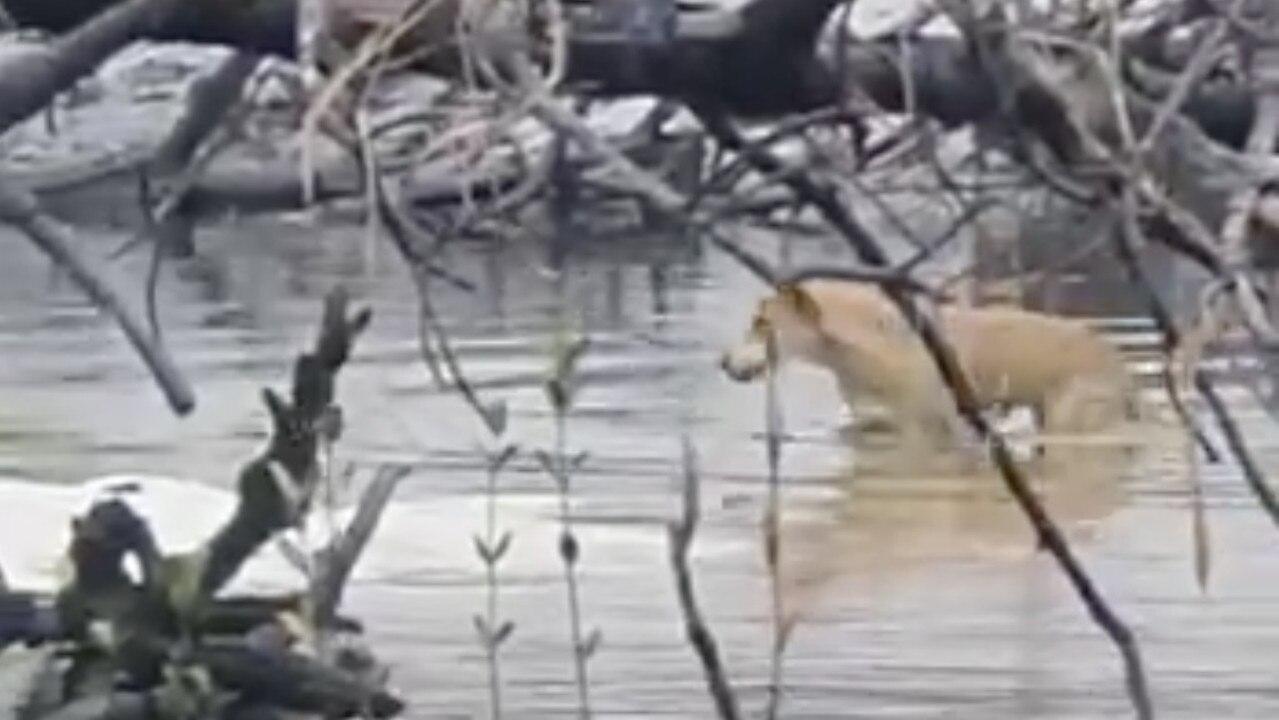 A dingo takes a dip on Fraser Island.