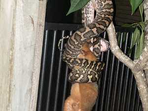 Python takes on 'massive' possum in ultimate battle