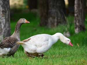 Animal cruelty charge after goose killed in club rampage