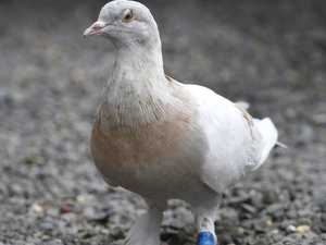 'Take Joe off death row: MP begs for pigeon pardon