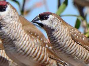 BIRD OF THE WEEK: A social little finch
