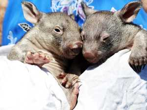 Baby wombats who beat the odds find love