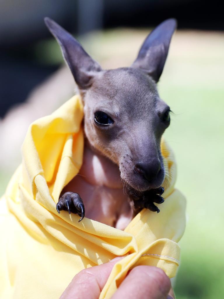 Baby kangaroo joey Lily.
