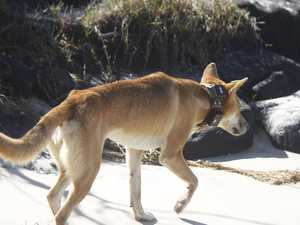 Fears for dingo after removal of tracking collar