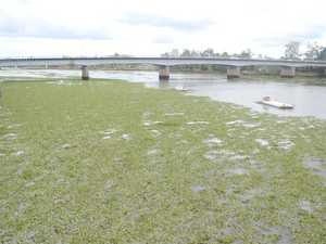 SEA OF GREEN: Hyacinth clogs the Fitzroy River