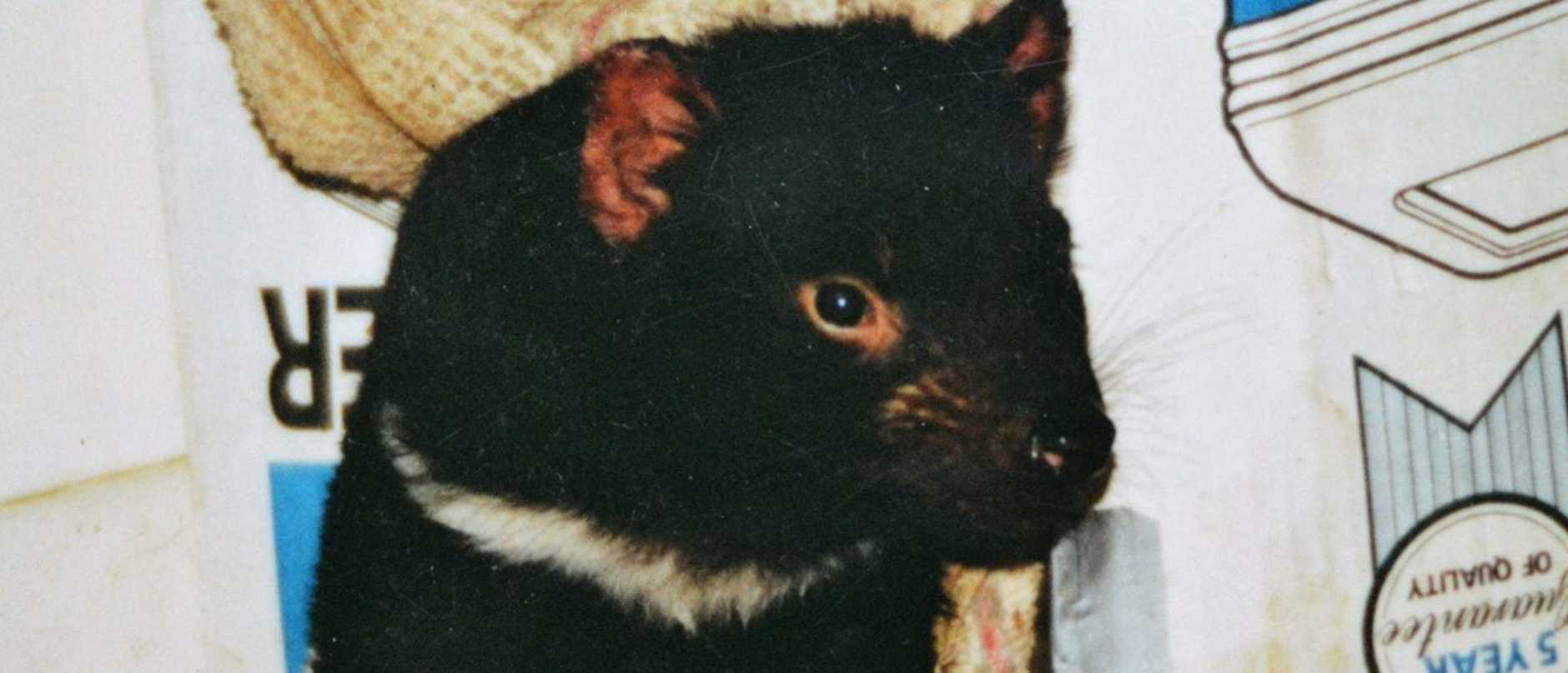 Mandy Kidd was surprised to find a quoll and Tasmanian devil had been breaking in. Now she has nothing but fond memories for her housemates.