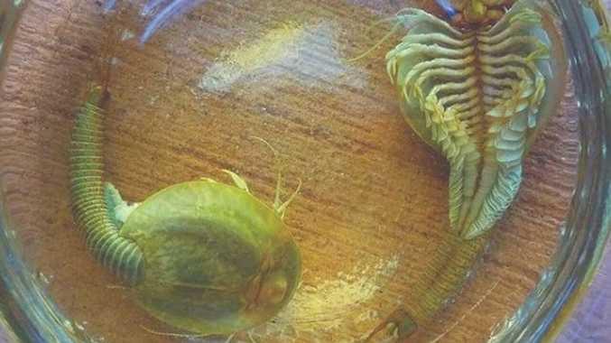 Bizarre desert shrimp appear after long hibernation