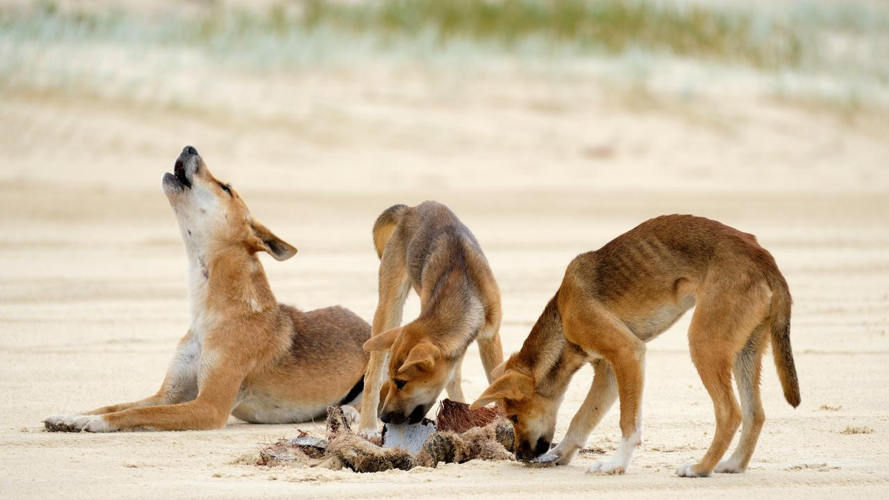 Fraser Island's dingo population has been described as resilient by Cheryl Bryant from Save The Fraser Island Dingoes.