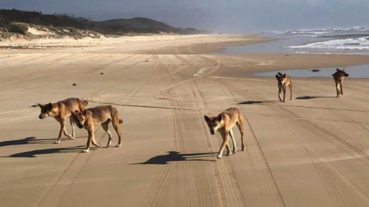 Wild dingoes on Fraser Island. DES has extended the closure of four camp grounds on the island due to continued human interference with the animals. Photo: File