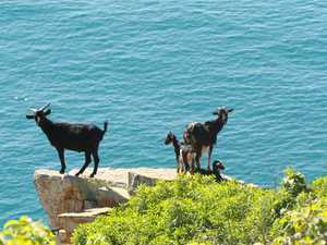 Meeting held about GKI feral goat problem