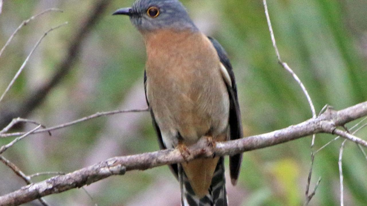 The fan-tailed cuckoo has a distinctive high pitched trilling call. Photo: Contributed