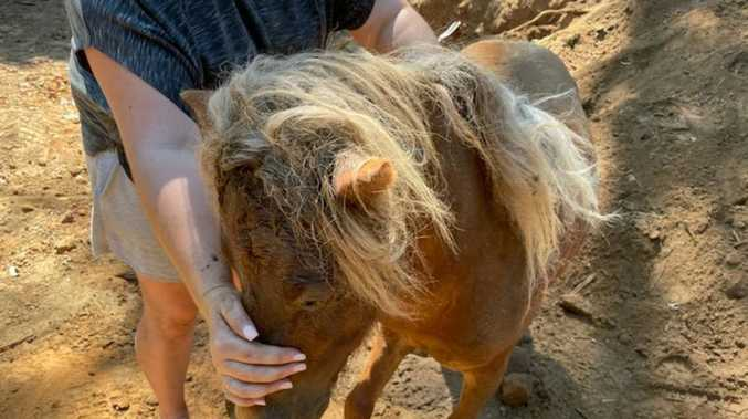 'Distressed' mini pony rescued