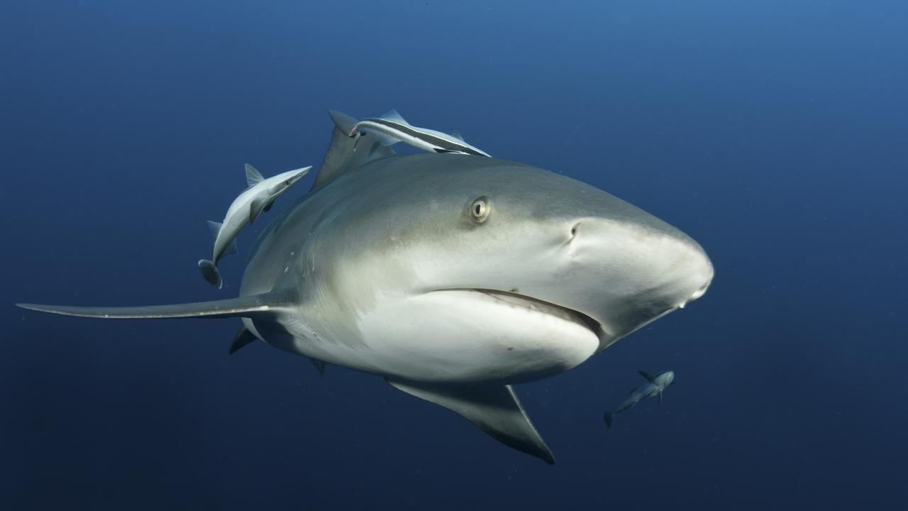 Photo of a bull shark. Picture: Fiona Ayerst