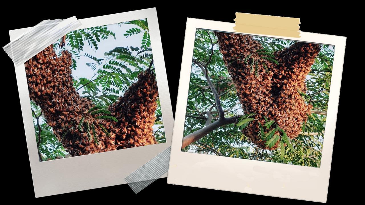 Marley Birkett and his partner Kim discovered a swarm of European Honeybees in their Chuwar backyard.