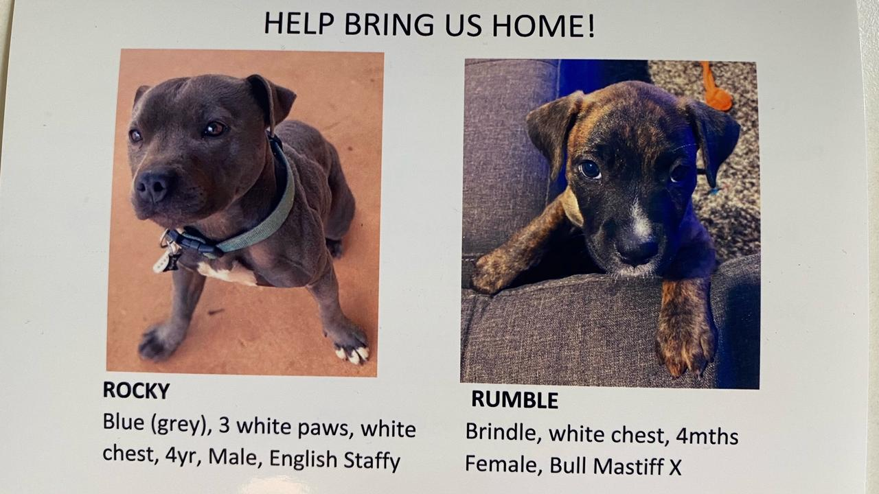 The missing dogs from Alice Springs are Rocky, a blue/grey male English Staffy with a white patch on his check, and Rumble, a young female brindle Bull-mastiff cross.