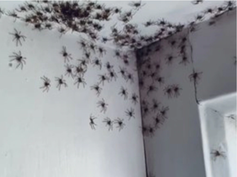 Hatching of Huntsman spiderlings in her 11-year-old daughter's bedroom