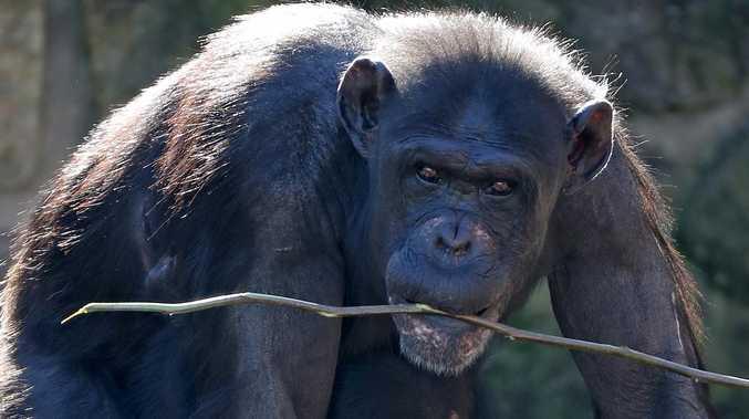 Rogue chimp's cheeky zoo escape