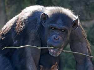 Rogue chimp's cheeky zoo escape