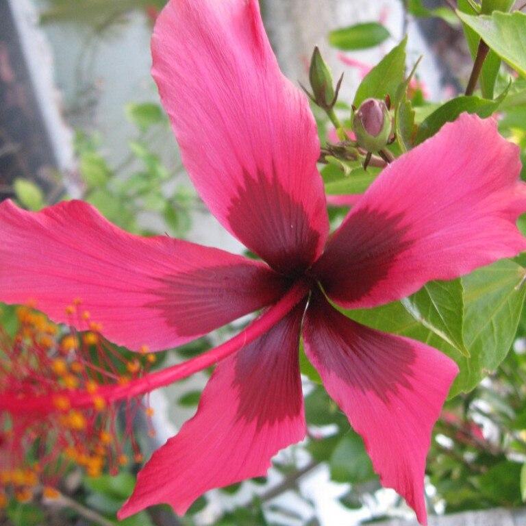 Hibiscus Fiji Island. Picture: Contributed