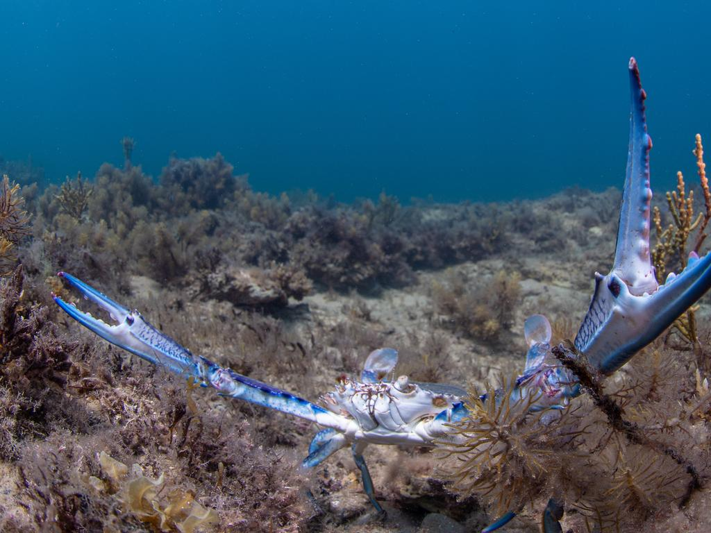 A Blue Swimmer crab (picture Carl Charter)