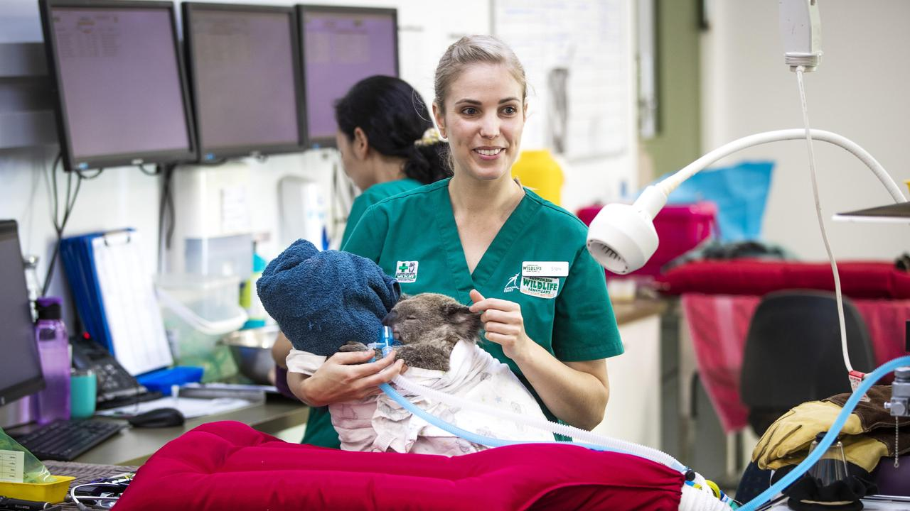 Vet nurse Steph Pilgrim cares for a joey koala at Currumbin Wildlife Hospital. Picture: Nigel Hallett