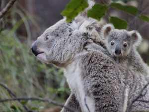 Population encroaches on an Aussie icon