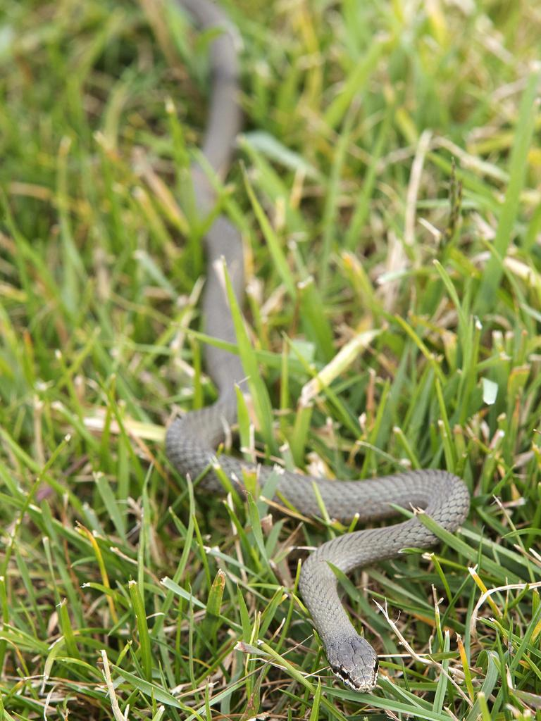 White-lipped Snake rescued at Mornington. Picture: Chris Kidd