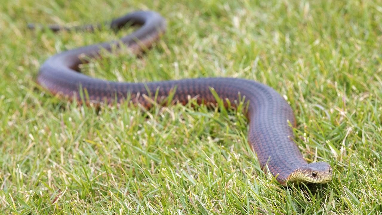 Copper Head Snake rescued at Claremont. Picture: Chris Kidd