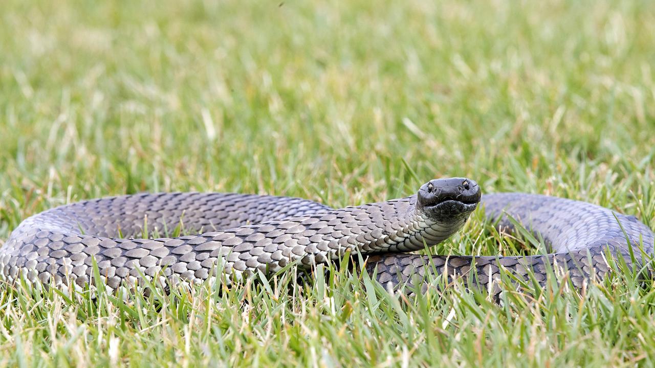 Tiger Snake rescued at Granton. Picture: Chris Kidd