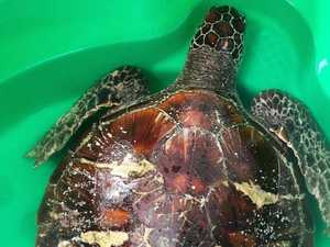 Amazing effort to save turtle after shark attack
