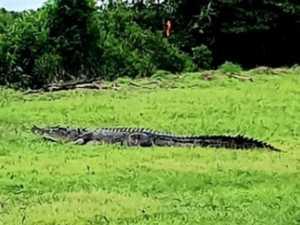 INSANE VIDEO: Tradie spots huge 4m croc in carpark