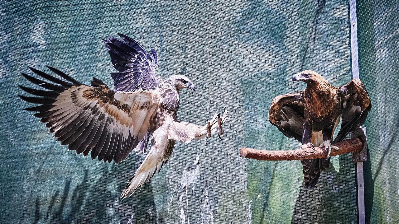 A young sea eagle and a wedge-tailed eagle.