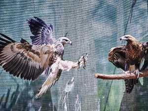 Apex predators to have custom-built $50K recovery aviary