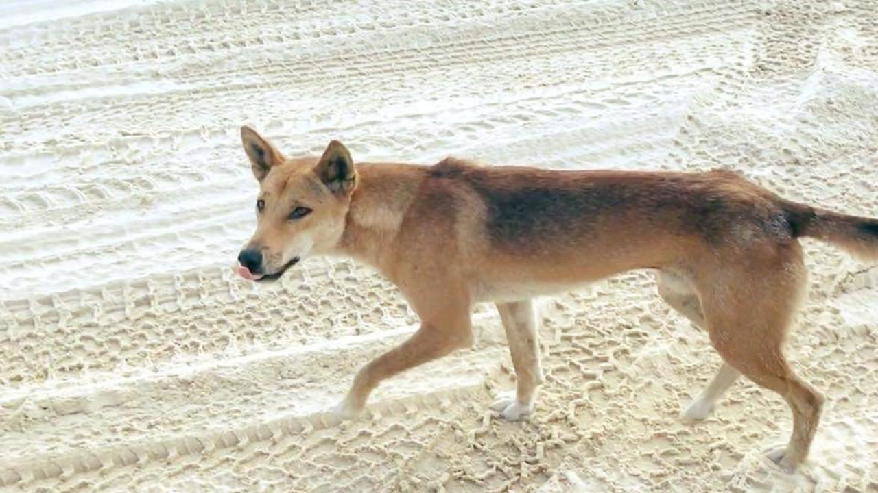 Two dingoes have been involved in an attack on a child.