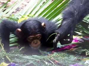Rocky chimp troop celebrates Gandali's first birthday