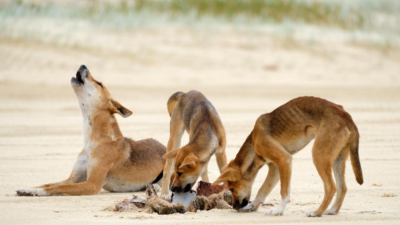 Dingoes at Fraser Island.