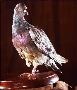 Cher Ami on display in the Smithsonian Museum. Photo: United States Signal Corps