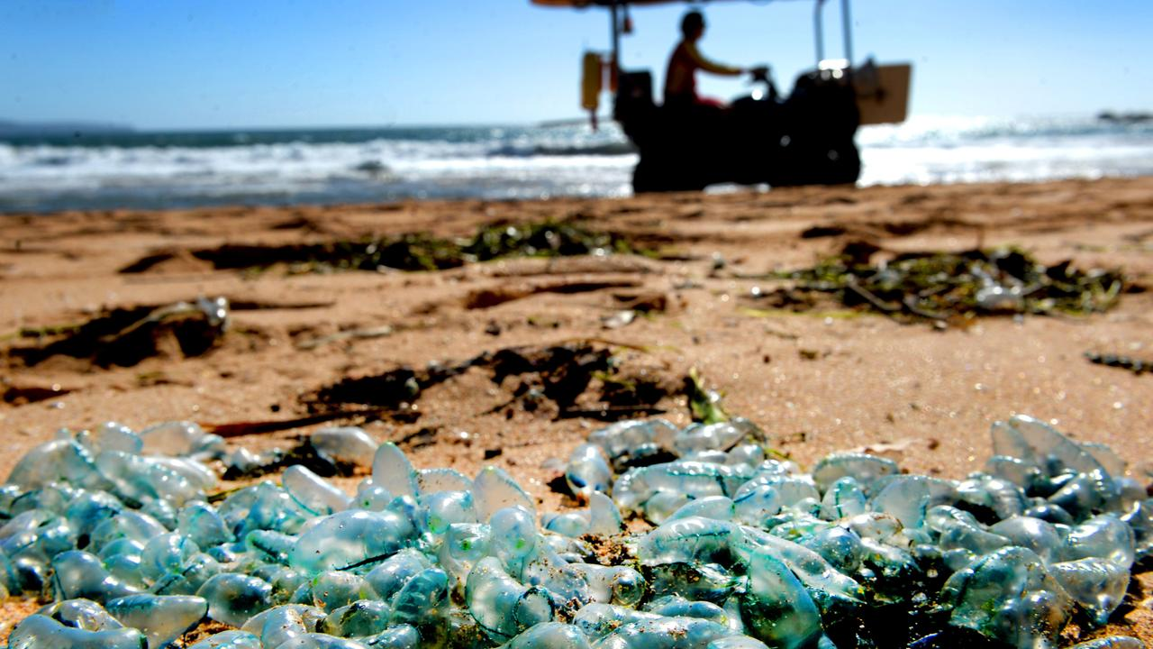 Bluebottles washed up along Palm Beach on Friday. Picture: NCA NewsWire / Jeremy Piper