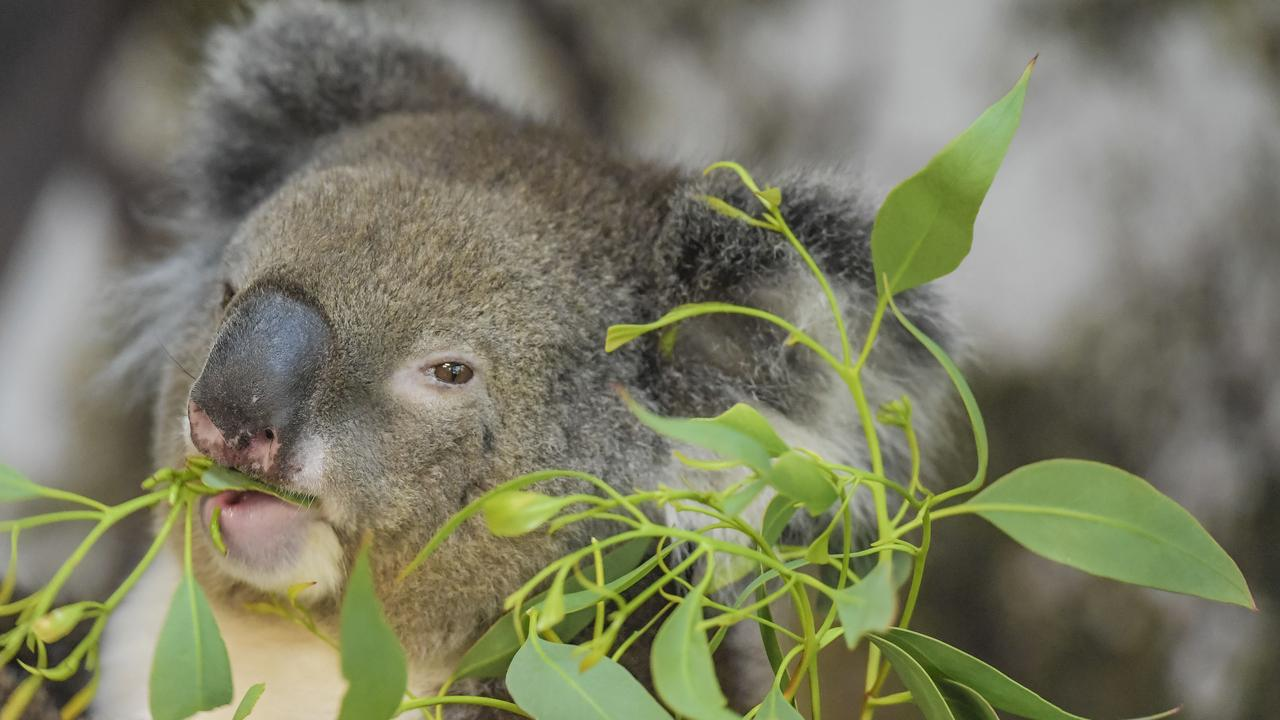There are fears the koala could become extinct in NSW if more isn't done to protect the species which has been left in a dire situation after the 2019/20 bushfires. Photo: Roy VanDerVegt.
