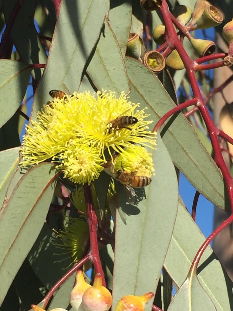 Eucalyptus woodwardii
