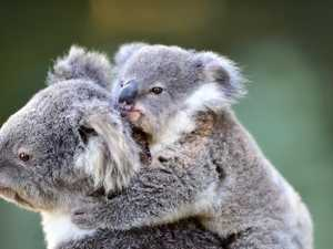 Clarence community group comes to the aid of our koalas