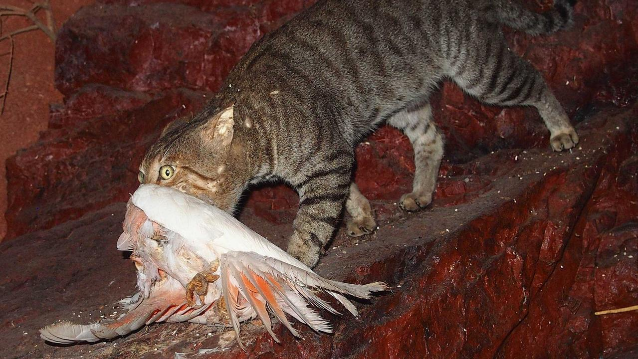 Cat owners could be forced to lock up their pets at night as the government faces a feral cat pandemic decimating Australian native wildlife.