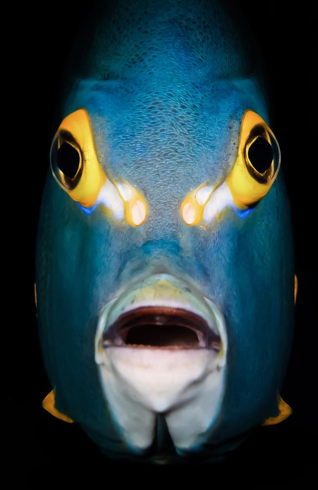 A French Angelfish. Picture: Michael Gallagher/Underwater Photographer of the Year 2021