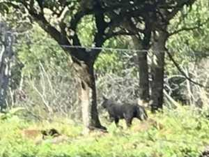 Panther spotted near Kyogle: 'Could not believe what we saw'