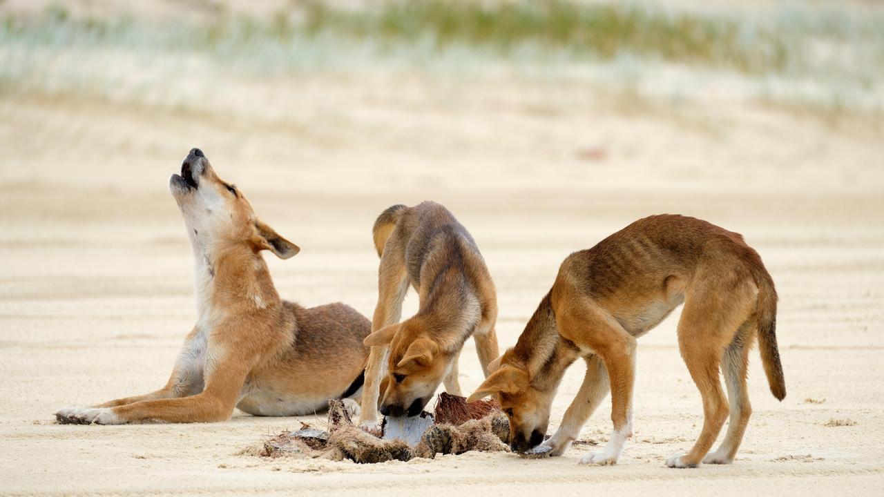 The department recently closed Wathumba campground, Teebing camping area and Wathumba Road until February 28, to allow rangers to monitor the situation due to continued dingo interactions n the island.