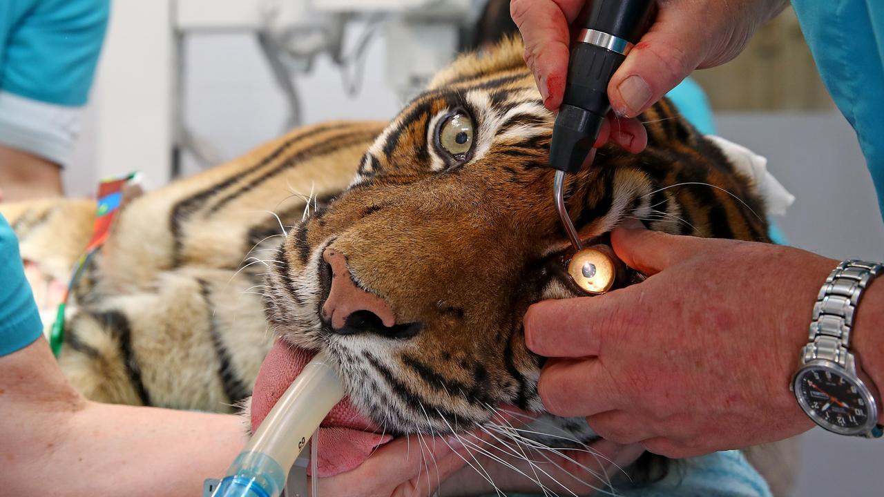 Taronga Zoo senior vet Larry Vogelnest checks Jumilah's eyes. Picture: Toby Zerna