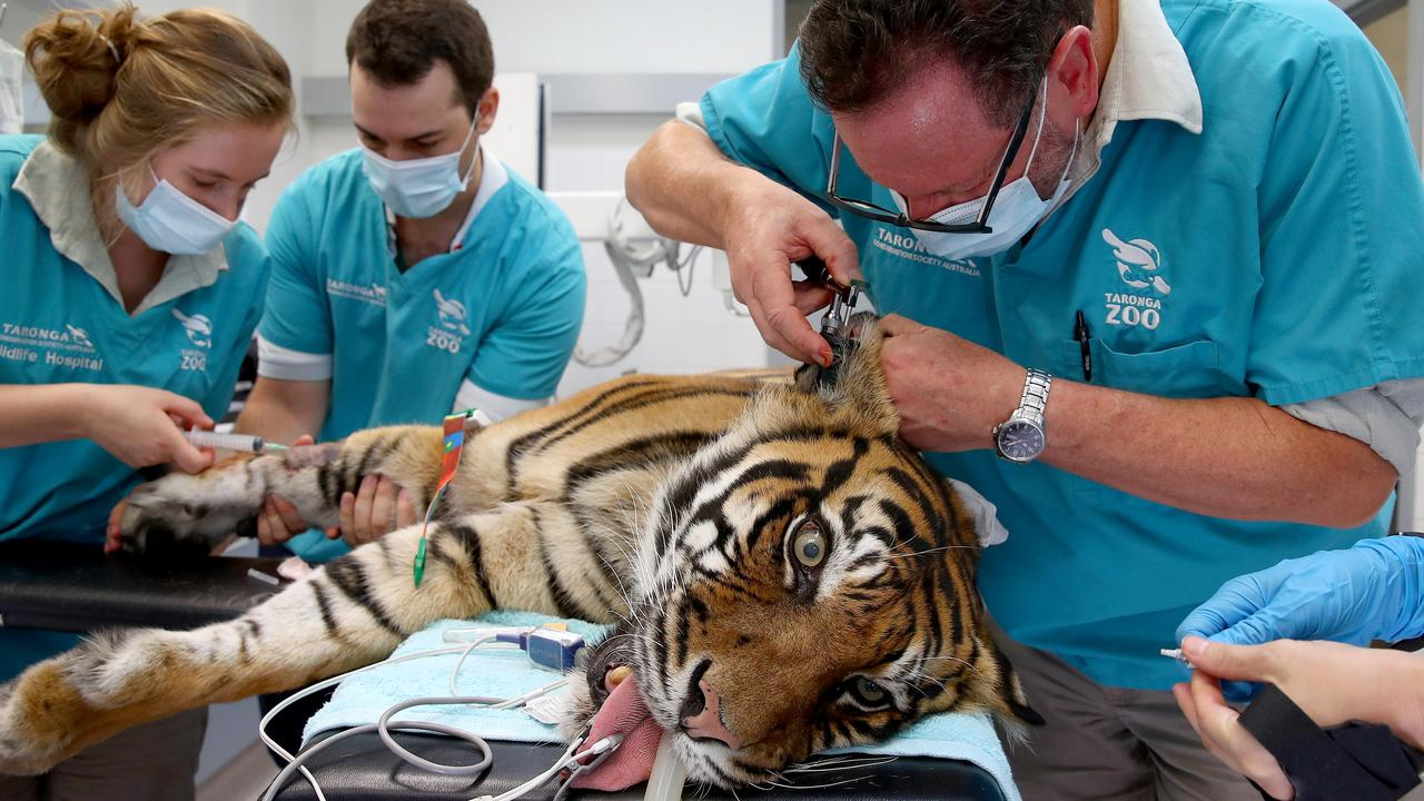 It wasn't the eye of the tiger but a tooth vets were after when they operated on Taronga Zoo's tigress Jumilah on Friday.
